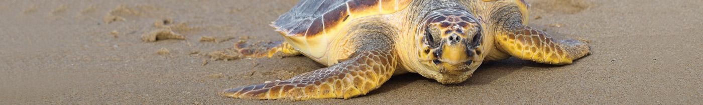Hilton Head Island Turtle